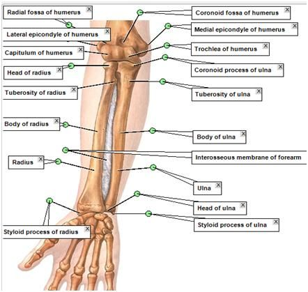 Duke Anatomy Tables - Labs Upper Limb