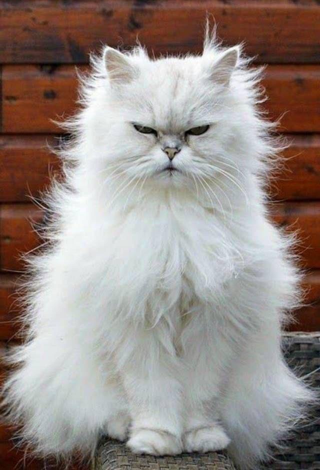 Curious white persian cat