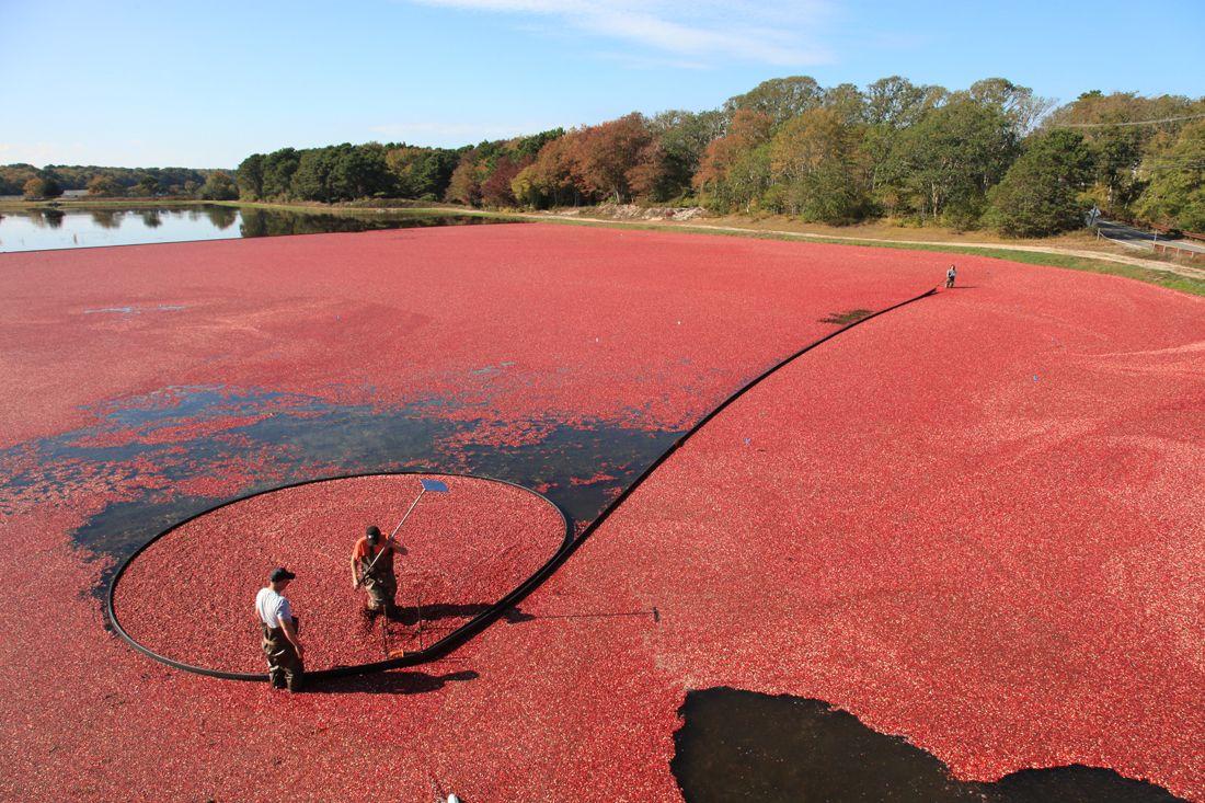 Cranberry Harvest Photos: Jenkins Bog Harwich