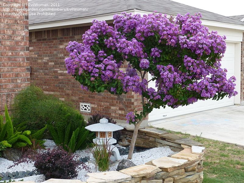 Catawba crepe myrtle. If you love violet flowers and reddish-orange fall foliage.