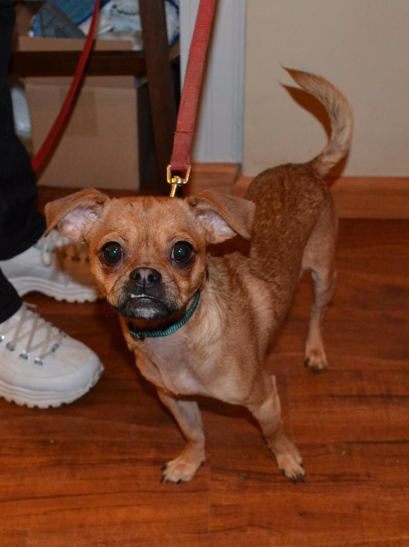 Adopt Bear On Petfinder Chihuahua Pug Mix Pets Animal Rescue