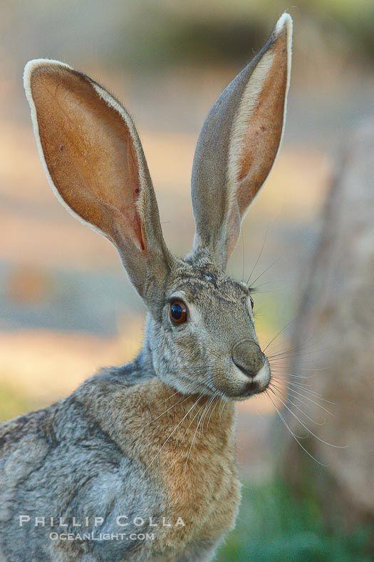 Jack Rabbit Usa >> Antelope Jackrabbit Amado Arizona Usa Lepus Alleni