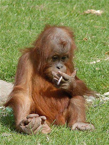 Naughty Baby Orangutan smoking a cigarette - picking up ...