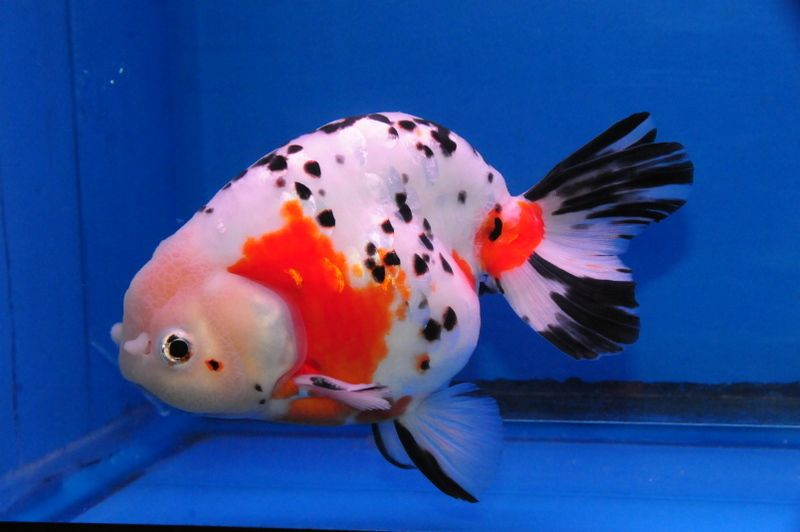 Calico Ranchu Dandyorandas Com Pet Goldfish Ryukin Goldfish Cute Fish