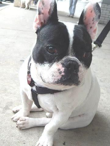 Adopt Louis On French Bulldog Adult Rescue Dogs Dogs
