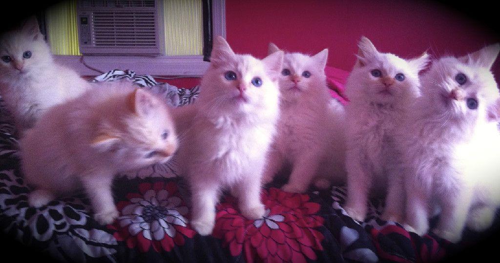 Broadway Ragdolls Cattery Ragdoll Kittens Li Ny Ragdoll Breeder