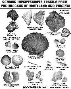 .PDF fossil identification sheet of common invertebrate