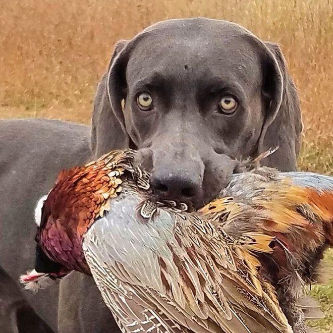 Pheasant Hunting, Pheasant, Animals