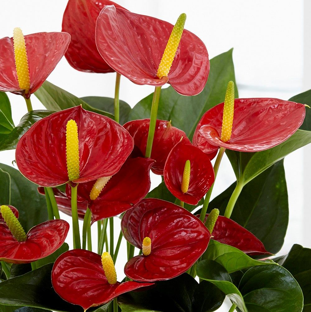 Anthurium Andraeanum Group Red Champion Anthbnena Pbr Flamingo Flower Flamingo Flower Anthurium Plants