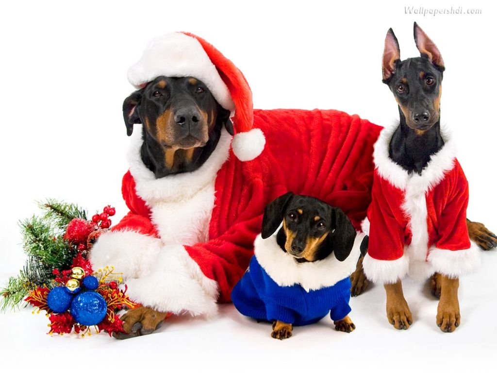 Download your favorite Christmas dogs wallpaper from our list. Dogs ...