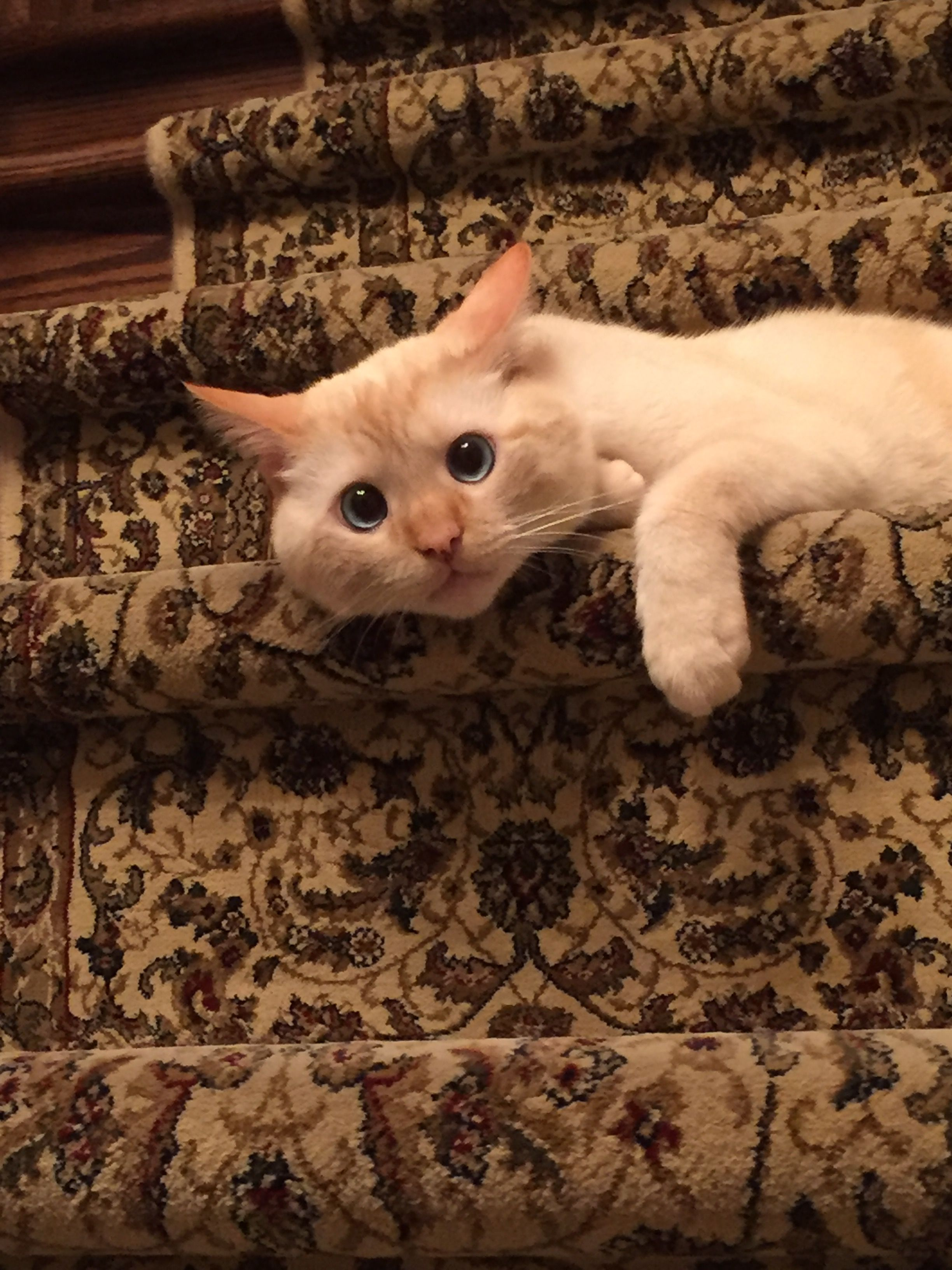 Pin by Jemimah The Wigga on Flame Point Siamese Animals