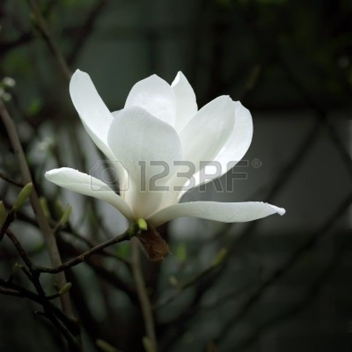A Beautiful White Magnolia Flower With Fresh Odor Royalty Free