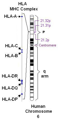 HLA system, most polymorphic in the human genome, on Chromosome 6, inherited en bloc from each parent sans crossing over. Also on chromosome 6 are HFE gene, TNF and 21-hydroxylase (CAH).  Since these are inherited like autosomal recessive genes, the chances of two siblings being idential is 25% (45% with 2, and 60% with three).