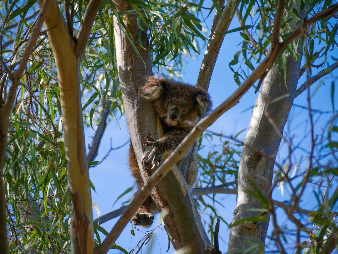 Best Tour To See Wild Koalas And Kangaroos In Melbourne Koalas Kangaroo Koala