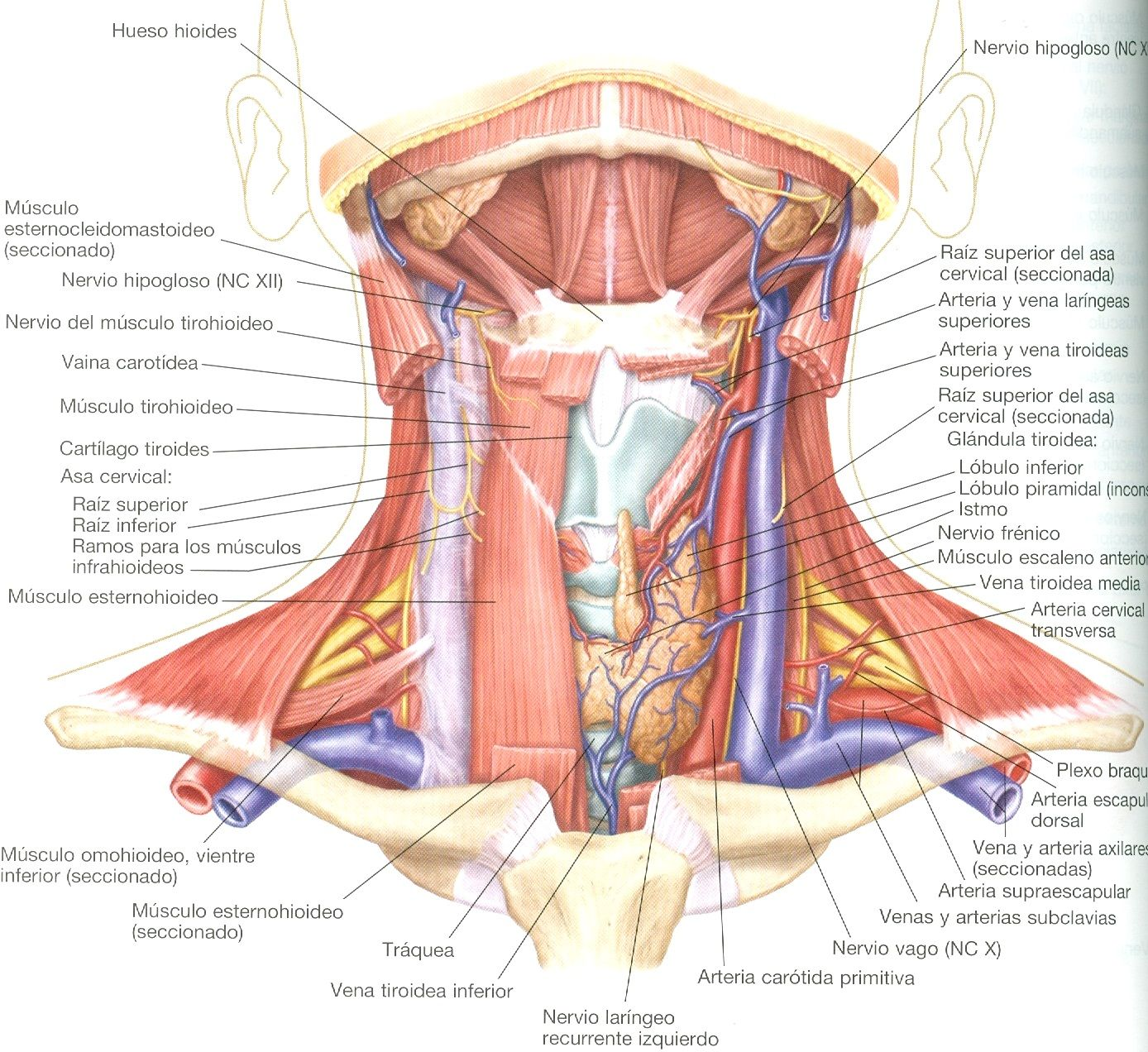 Lippincott Williams & Wilkins atlas de anatomía http://kmelot ...