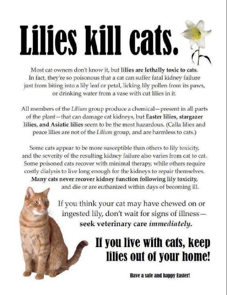 Lilies Members Of The Lilium Family Are Considered To Be Highly Toxic To Cats Many Types Of Lily Such As Tiger Asian Japanese Cat Care Tips Cat Care Cats