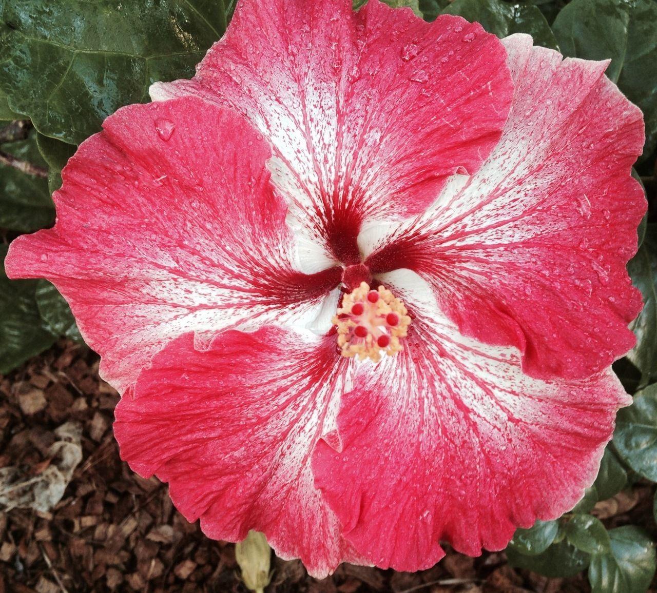 Creole Belle hibiscus Hibiscus, Hibiscus flowers, Rare