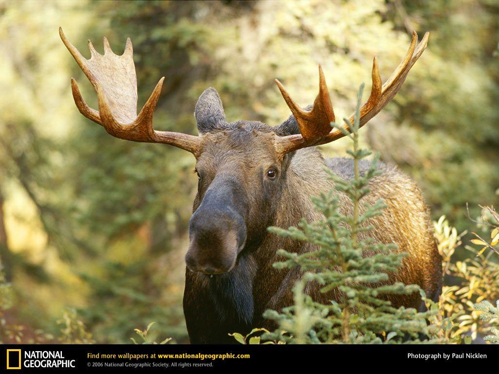 Pin By Darlene Clark On Animals Moose Pictures Animals Moose Deer