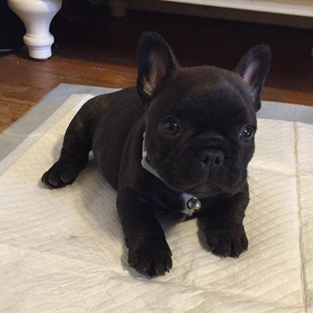 French Bulldog Puppy, 6 weeks old.