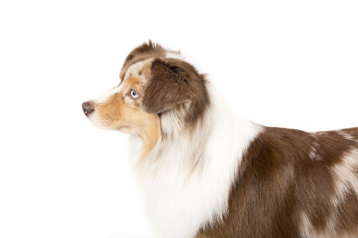 Miniature American Shepherd Dog Breed Information American