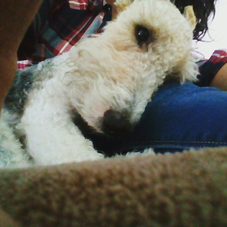 Figo. Wire fox terrier | A Dog\' s Life | Pinterest | Hunde