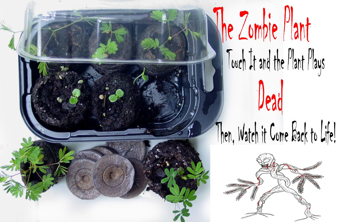 """Grow The Zombie Plant - Touch the plant and it """"PLAYS DEAD""""! Then watch how it """"COMES BACK TO LIFE""""! http://www.thezombieplant.com"""