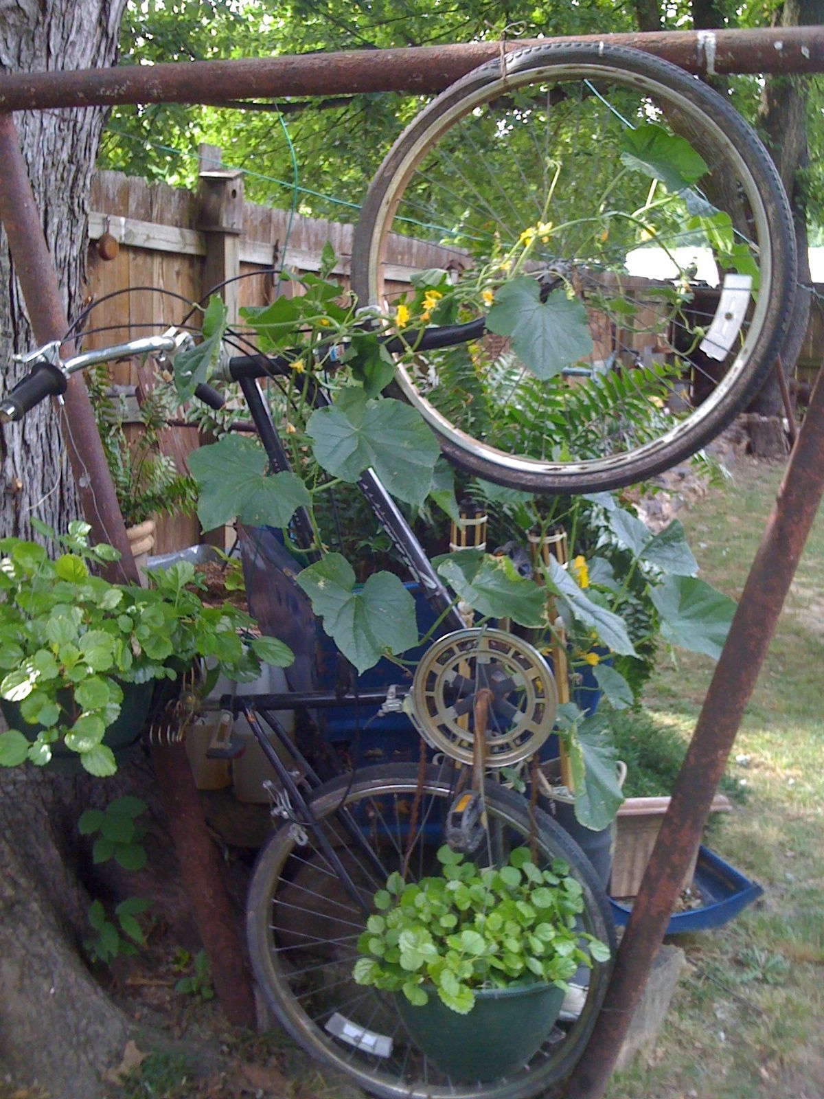 Bicycle on the clothes line frame. Has a cucumber growing on it out of the fire boots Willie gave me. 2012
