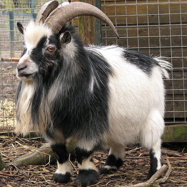 Pygmy Goat Buck