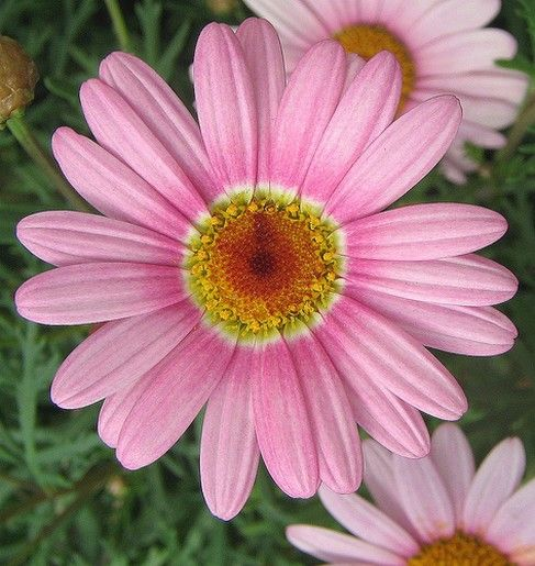 Pin by d gundling on flower photography pinterest pink daisy daisy yellow pink and lilac colored flowers bing images mightylinksfo Image collections