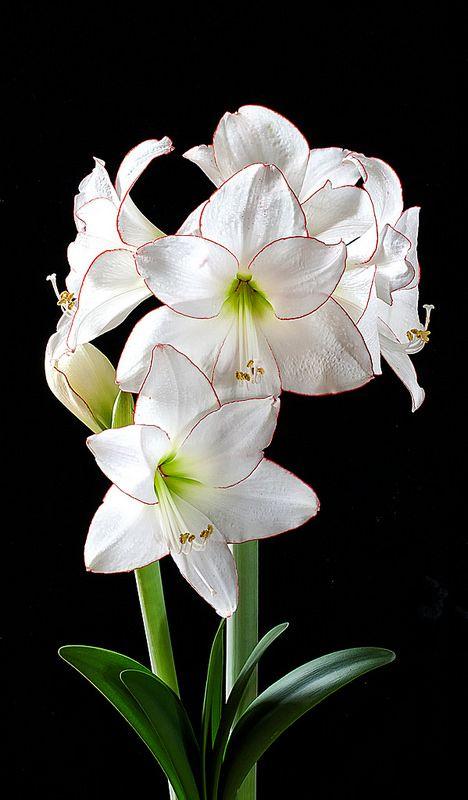 Amaryllis picotee fleur fleurs blanches et plantes for Amaryllis exterieur