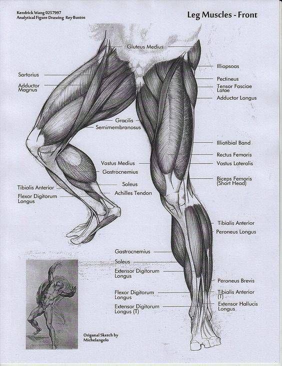 musculos-de-las-piernas | 인체공부 | Pinterest | Musculos de las ...