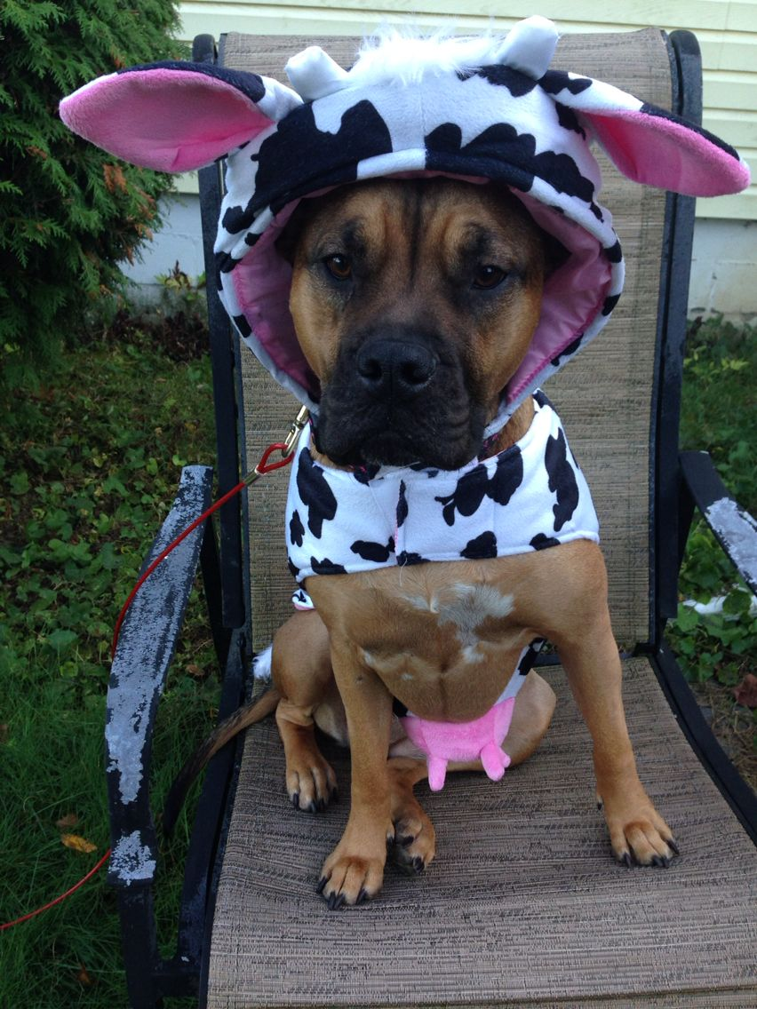 Fiona In Her Halloween Costume She Loves Being A Cow Vicious