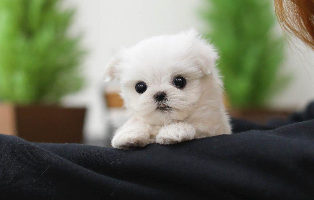 White teacup maltese dog teacup maltese teacupmaltese