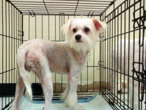 Adopt Li Ming On Chinese Crested Dog Chinese Crested Jack Russell