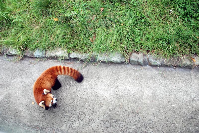 This adorable creature lives in Oshima zoo.  http://tokyoislands.jp/tokyo-municipal-oshima-park-zoo