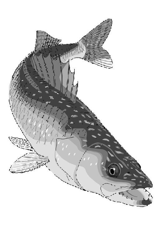 Coloring Page Fish Walleye Img 20447 Fish Drawings Fish Walleye Fishing