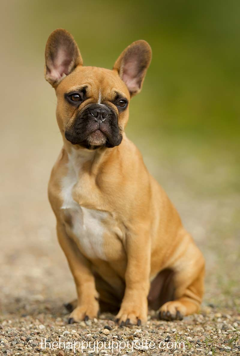 What To Look For When Buying A Puppy French Bulldog Bulldog