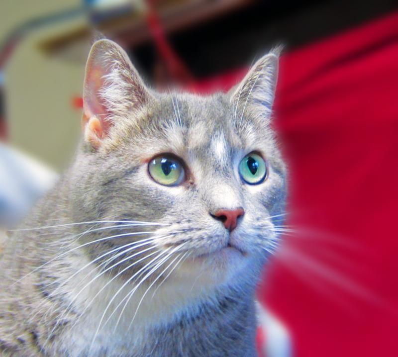 Adopt ashely on petfinder animal shelter short hair