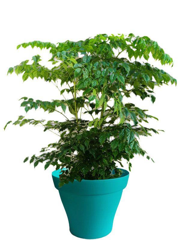 Radermachera avec cache pot turquoise | Plantes d\'intérieur avec ...