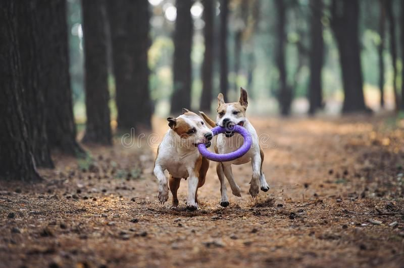 Two beautiful dogs play together and carry the toy to the owner Aport performed