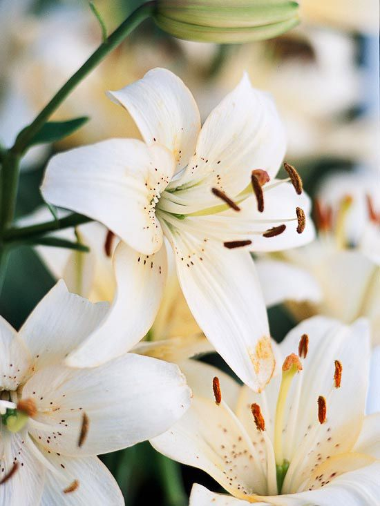 Summer Flowers And Bulbs Summer Flowers Lily Flower Asiatic Lilies