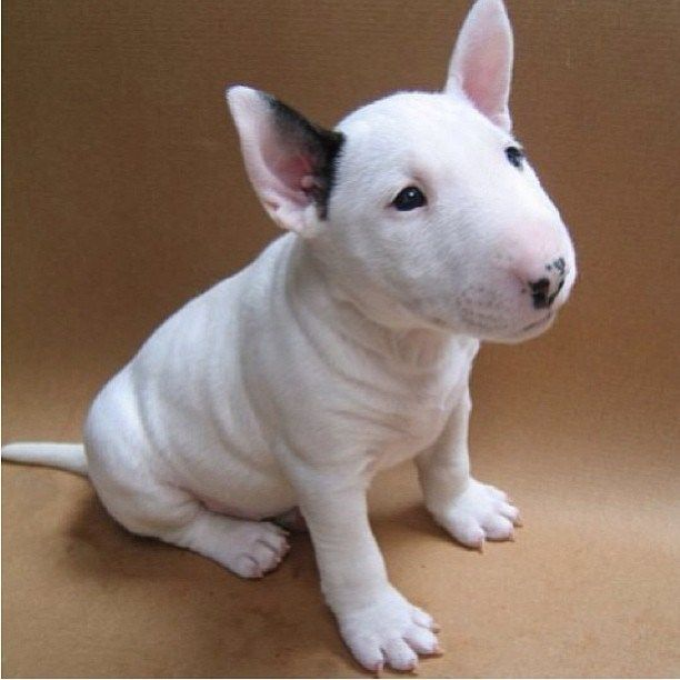 Bull Terrier Puppy, Cute Dogs, Animals
