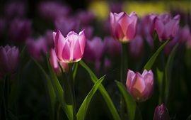 Primavera, flores rosa, tulipas, luz