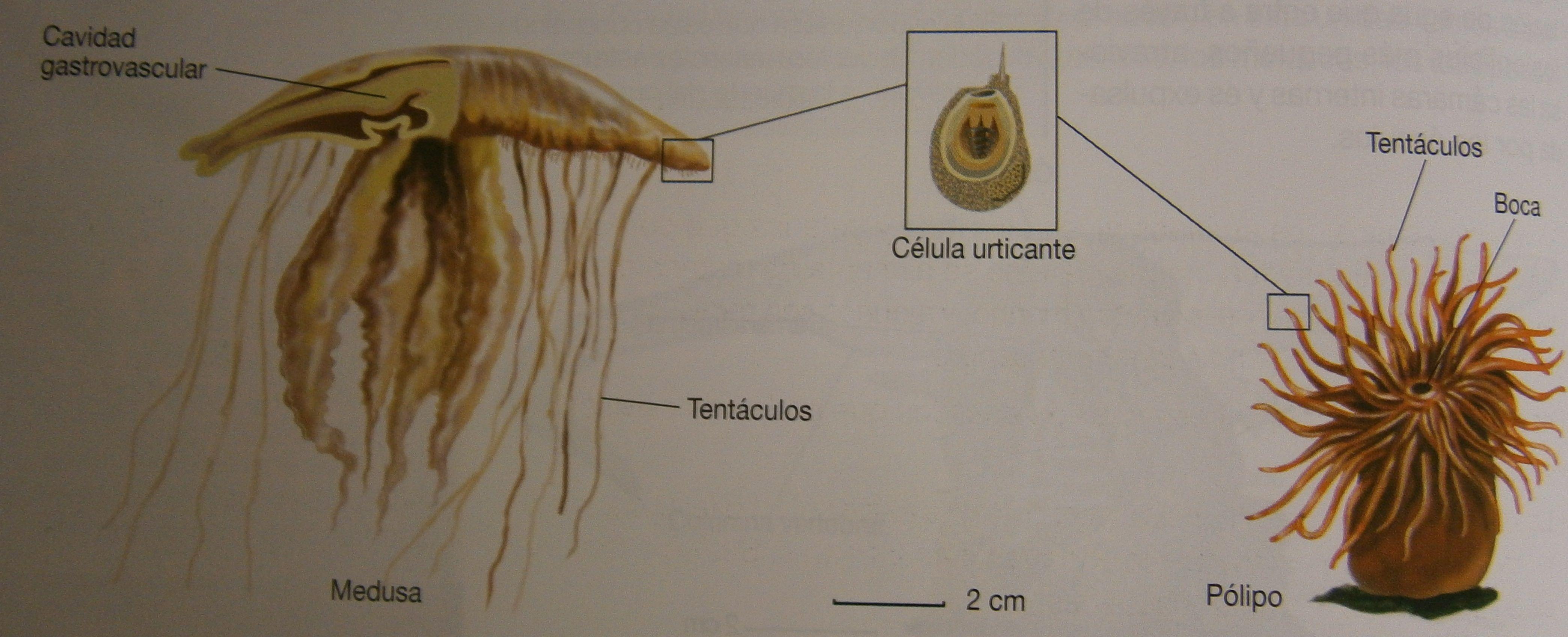 Los Cnidarios son un grupo de invertebrados de vida marina provistos de células urticantes. Los cnidarios presentan dos formas diferentes, denominadas medusas y pólipos. Estos cnidarios viven sobre una superficie y en algunos casos se agrupan diferentes individuos formando lo que en apariencia parece un único organismo, las colonias. #cnidarios