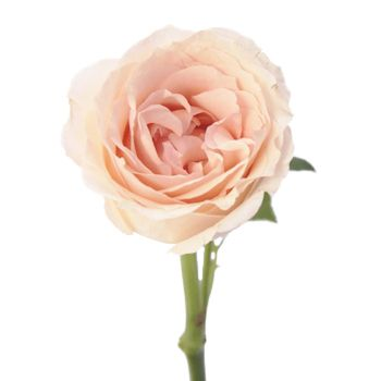 Peach Garden Rose perfumela peach spray garden roses | garden roses, flowers and