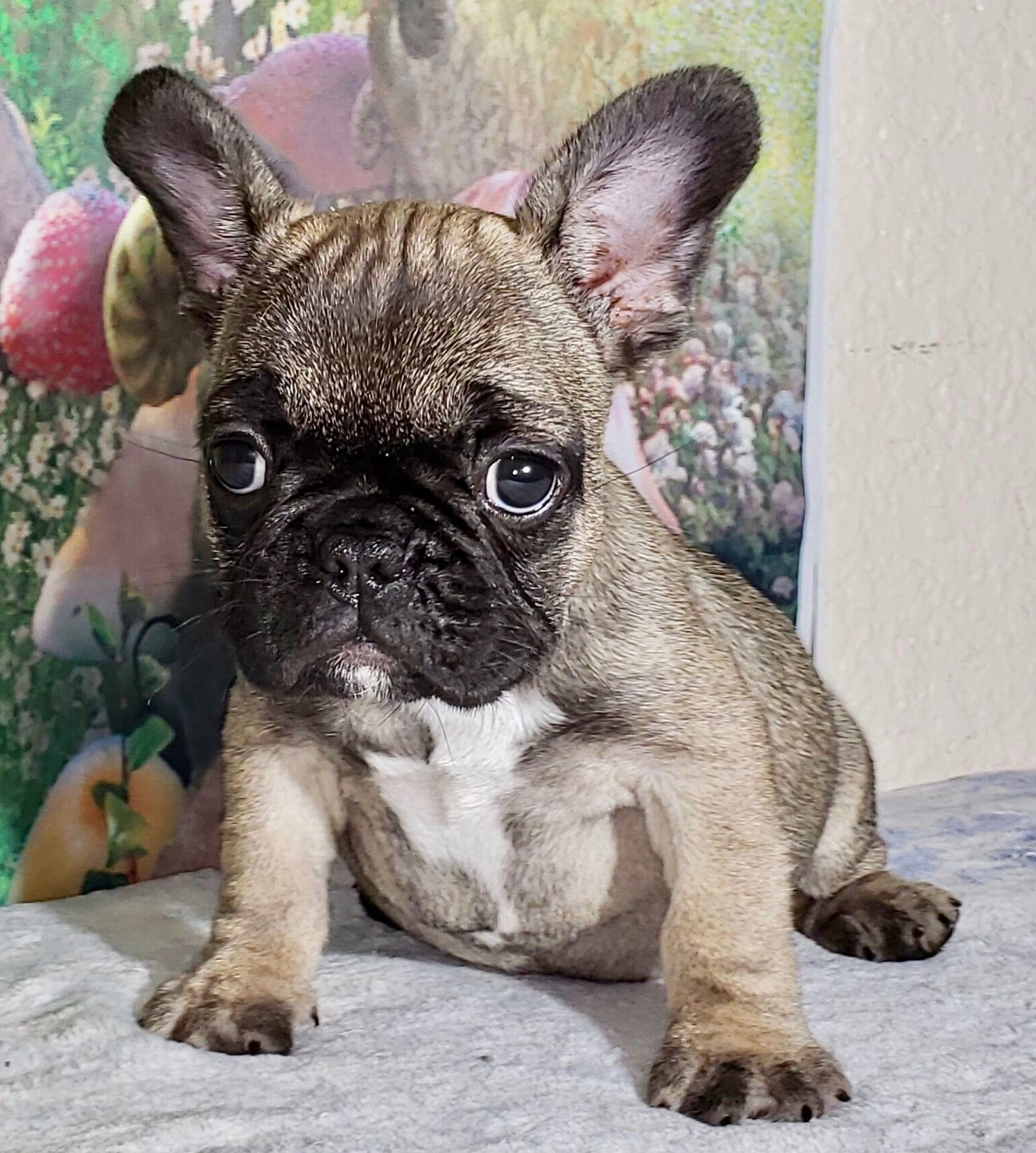 Gigi Fawn Sable Female French Bulldog Available Now 2999 Cute Animals French Bulldog Puppies Bulldog Puppies