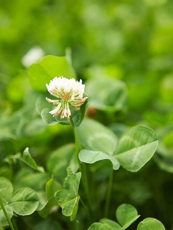 Weed identification guide gardening pinterest perennials weed identification guide white clover type broadleaf perennial size 8 10 inches tall 12 inches wide where it grows lawn landscape and garden areas in mightylinksfo
