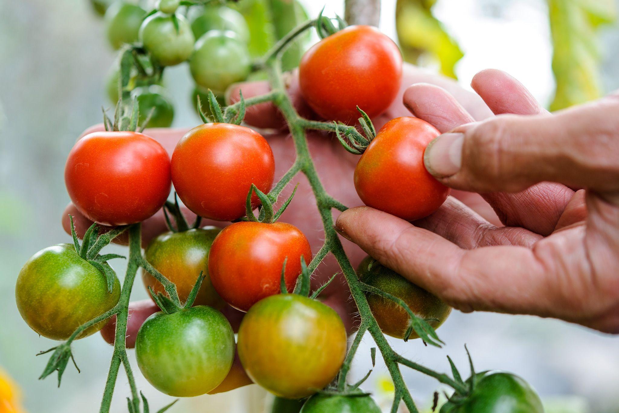 1c1e12f2753afcf174f099b39ab0b3ed - Gardeners World Magazine Free Tomato Seeds