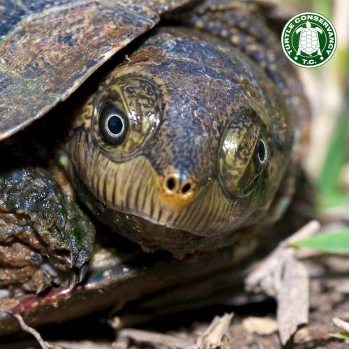 A Juvenile Madagascan Big Headed Turtle Erymnochelys
