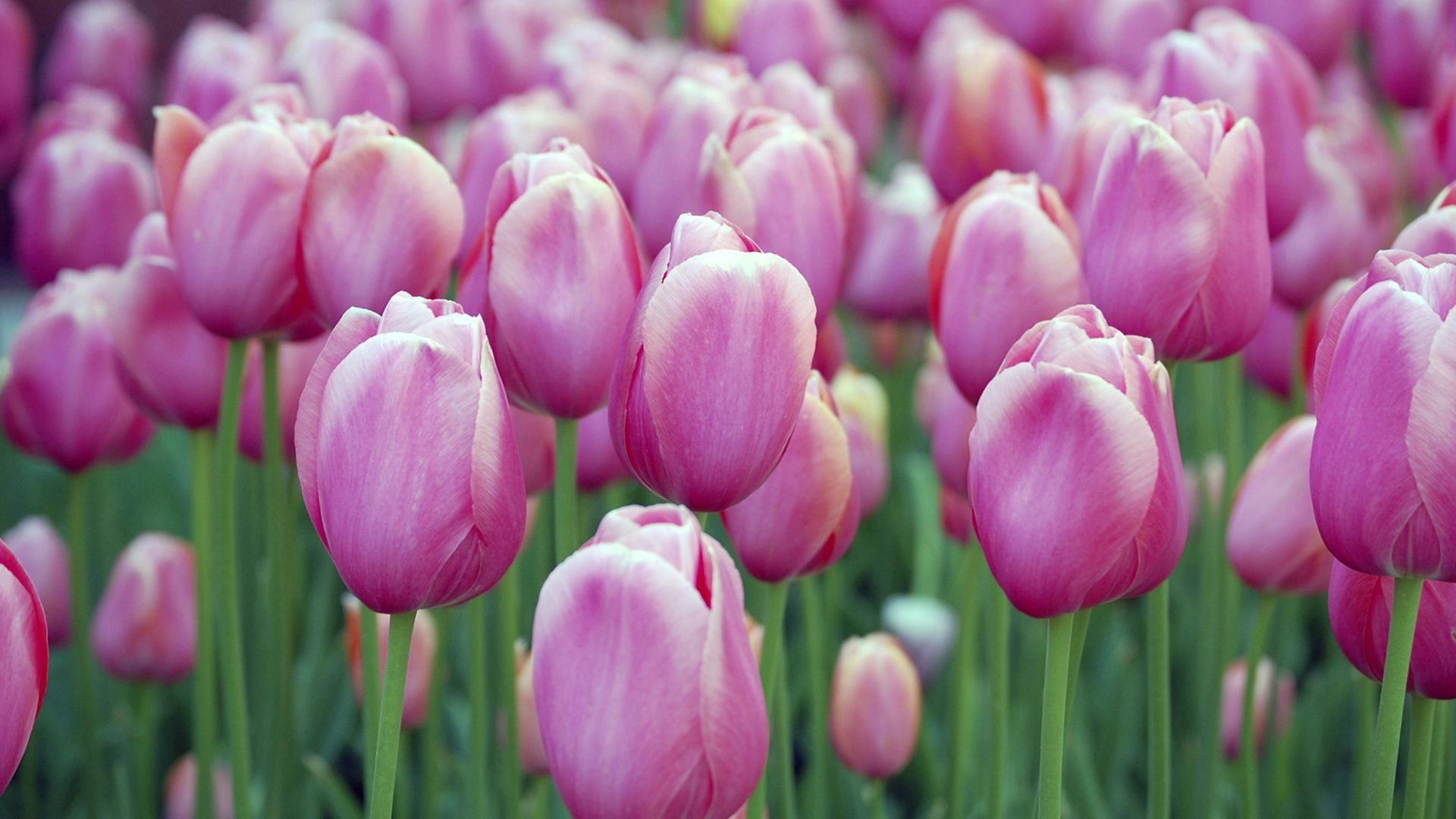 Beautiful Nature Spring Flower Wallpaper Hd 14 Spring Flowers Wallpaper Flower Seeds Tulip Seeds